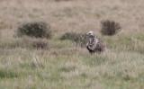 Rough-legged Buzzard (Buteo lagopus)
