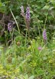 Skogsnycklar (Dactylorhiza maculata)