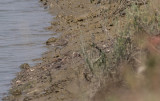 Spotted Sandpiper (Actitis macularius)