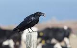 Raven (Corvus corax principalis)