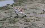 Western Sandpiper (Calidris mauri)