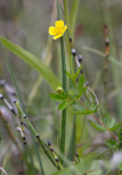 Blodrot (Potentilla erecta)