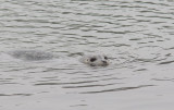 Harbor Seal (Phoca vitulina richardsi)