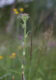 Skogsklocka (Campanula cervicaria)