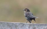 Tricolored Blackbird (Agelaius tricolor)