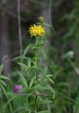 Krissla (Inula salicina)