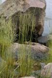 Gultåtel (Deschampsia bottnica)