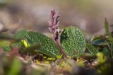 Nätvide (Salix reticulata)