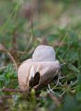 Naveljordstjärna (Geastrum elegans)