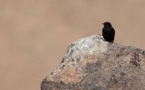 Mourning Wheatear (Oenanthe lugens warriae)