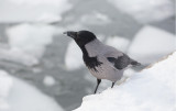Hooded Crow (Corvus cornix)