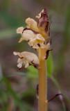 Tistelsnyltrot (Orobanche reticulata)