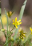 Vårlök (Gagea lutea)