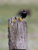 Spotless Starling (Sturnus unicolor)
