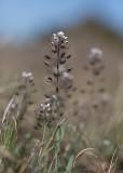 Vårskärvfrö (Thlaspi perfoliatum)