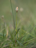 Trubbstarr (Carex obtusata)