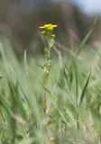 Vårkorsört (Senecio vernalis)