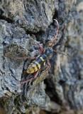 Bredbandad ekbarkbock (Plagionotus detritus)