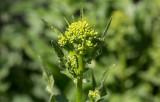 Ryssgubbe (Bunias orientalis)