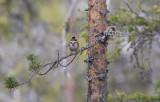 Rustic Bunting (Emberiza rustica)