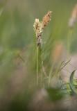 Vårstarr (Carex caryophyllea)