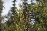 Bohemian Waxwing (Bombycilla garrulus)