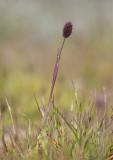 Fjälltimotej (Phleum alpinum)