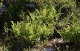 Fjällbräken (Athyrium distentifolium)