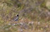 Lapland Longspur (Calcarius lapponicus)