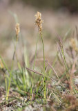 Ölandsstarr (Carex ligerica)