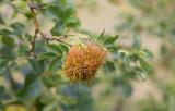 Sömntornsstekel (Diplolepis rosae)