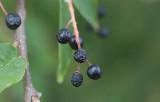 Hägg (Prunus padus)