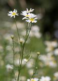 Baldersbrå (Tripleurospermum inodorum)