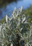 Ripvide (Salix glauca)