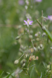 Rödnarv (Spergularia rubra)