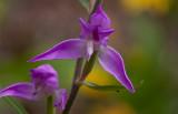Röd skogslilja (Cephalanthera rubra)