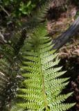 Uddfbräken (Polystichum aculeatum)