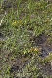Strandkotula (Cotula coronopifolia)