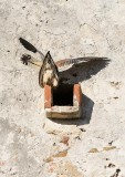 Lesser Kestrel (Falco naumanni), mating