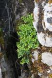 Murruta (Asplenium ruta-muraria)
