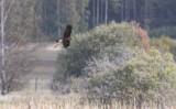 Brun kärrhök (Circus aeruginosus)
