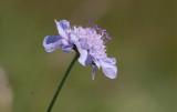 Luktvädd (Scabiosa canescens)