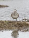 Grey Plover (Pluvialis squatarola)