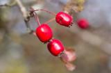 Spetshagtorn (Crataegus rhipidophylla var. rhipidophylla)