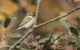 Hume's Leaf Warbler (Phylloscopus humei)