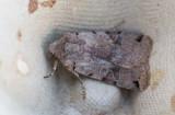 Kantfläckigt backfly (Agrochola litura)