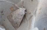 Grått höstfly (Ammoconia caecimacula)