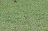 Naumann's Thrush (Turdus naumanni)