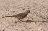 California Thrasher (Toxostoma redivivum)
