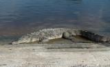American Crocodile (Crocodylus acutus)